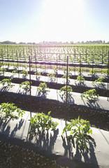 Tomato crop growing in field