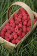 Fresh, red raspberries in basket