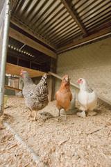 Chickens in chicken coop