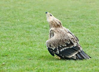 African Hawk  Eagle- aquila, spilogaster