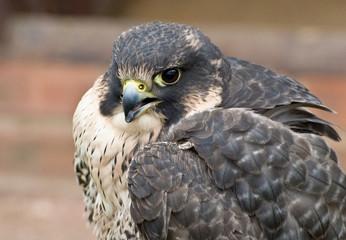 Young Hybrid Hawk