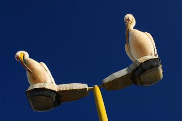 Pelikane auf einer Strassenlaterne