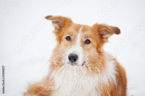 dog border collie portrait in winter