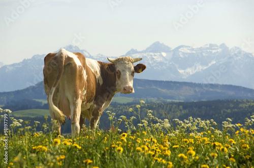 Kuh vor Alpenkulisse - 50197799