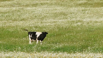 Cow grassing in a field among flowers