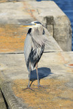 Great Blue Heron On Concrete Piling