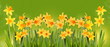 Bright yellow daffodils on a green background.