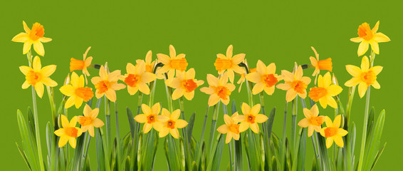 Bright yellow daffodils on a green background. Isolation.