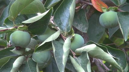 Green Persimmons (Kaki)