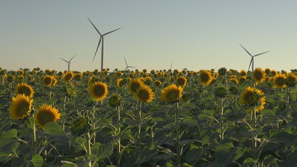 Wind Turbine among sun flower at sunset- Green Energy