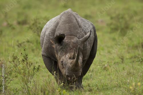 Deurstickers Neushoorn Black Rhinoceros