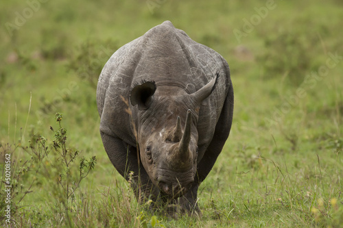 Foto op Aluminium Neushoorn Black Rhinoceros