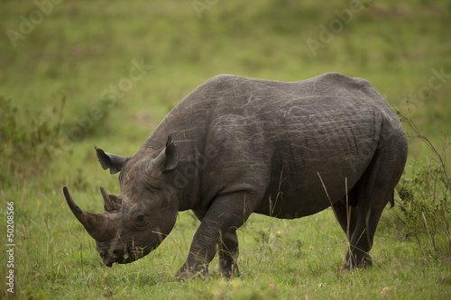 Foto op Canvas Neushoorn Black Rhinoceros