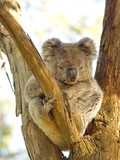 Koala, resting on a tree and being lazy