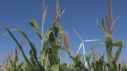 Wind Turbine  among corn field