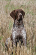 German Short-haired Pointing Dog on the corn field