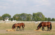 foals and horses eat hay in corral ranch scene