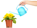Beautiful yellow primula in flowerpot and watering can,