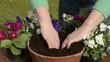 Hornveilchen einpflanzen