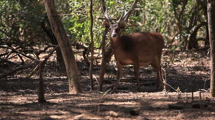 The deer slowly goes to the wood. Komodo island.