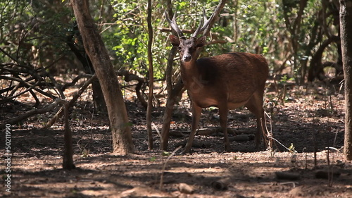 The deer slowly goes to the wood. Komodo island.
