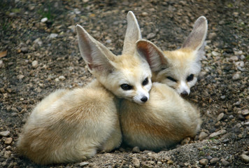 two young specimens of fennec Fox with long ears