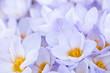 Abundant crocus blossoms