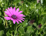 Pink and Purple Cape Daisy Flower