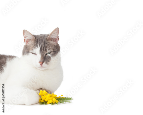 Cat and twig of mimosa flowers