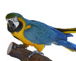 Macaw Parrot Perching