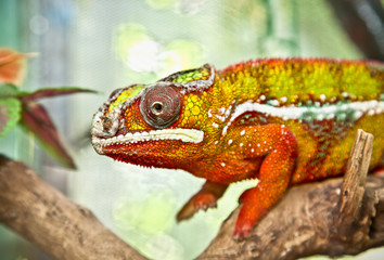 Male panther chameleon sitting on a branch. Indonesia.