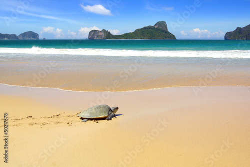 Sea turtle on a beach to lay her eggs.