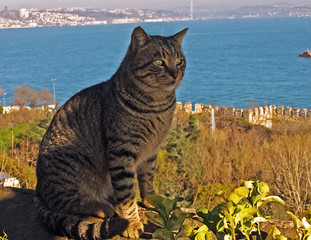 Cat overlooking Istanbul