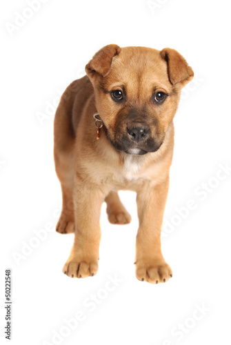 Boxer Mastiff Puppy