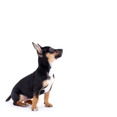 Young black coat puppy dog isolated on white