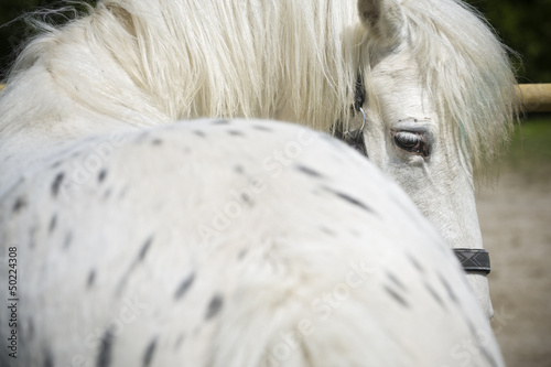 White spotted horse looking behind
