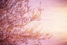 La floraison des arbres au coucher du soleil