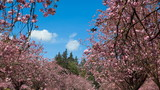 Time Lapse of blossoming cherry trees and cumulus clouds