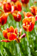 Tulip field on bright summer day