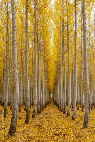Row of trees in a tree farm autumn
