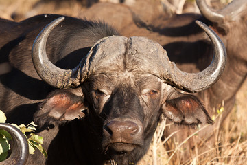 Cape buffalo standing looking
