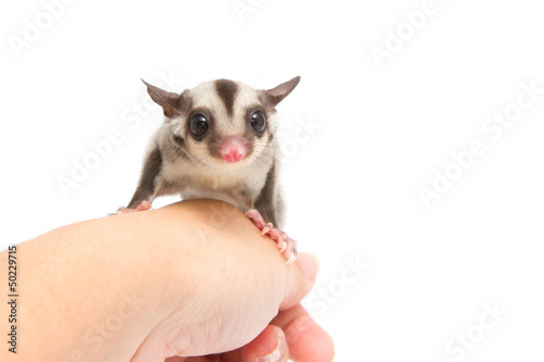 little sugar-glider rest in hand