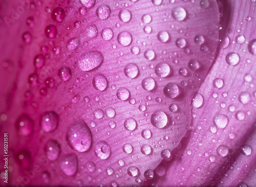 Water drop on pink petals tulip's, shallow depth of field.