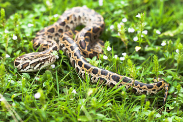 Dangerous burmese python could be found between the grasses