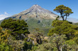 pine trees at Mount Egmont