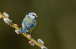 Blue tit on a willow twig
