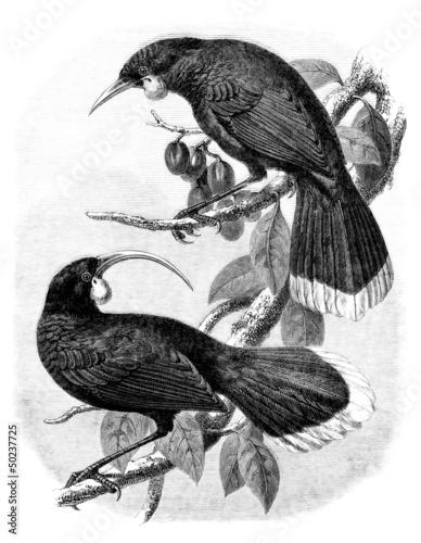 Pair : Birds (Neomorpha Gouldii)