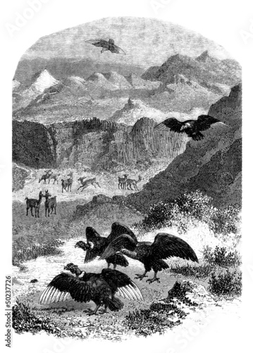 Andes Animals : Condor & Llama
