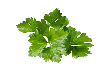 Green tops of parsley on white background.
