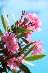 Blooming pink oleander near Swimming pool